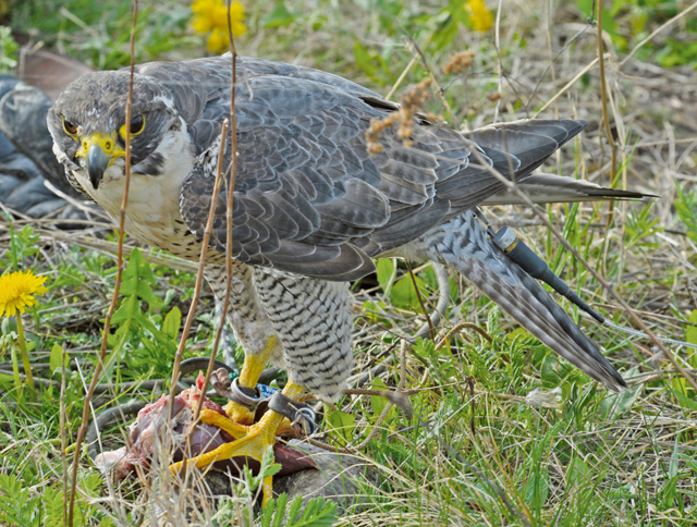 A peregrine falcon from the 86th Airlift Wing flight safety office Bird Aircraft Strike Hazard program eats his reward after diving to catch the meat out of the air as a part of the Falconer Show presented for Earth Day, April 16, 2015, at Ramstein Air Base, Germany. The show was performed for sixth-grade students from the Ramstein Middle School.