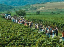 Courtesy photos The culinary walk will lead hikers through the vineyards near Freinsheim. The walk starts tonight and continues Saturday and Sunday.