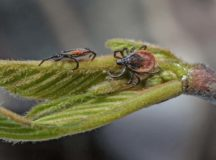 Two female ticks on a leaf. Photo by Neil Burton / Shutterstock.com