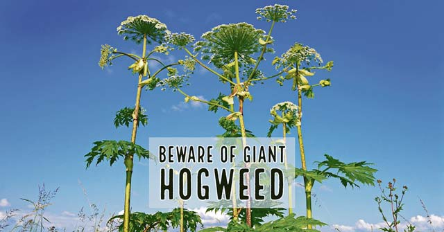 Giant Hogweed sows seeds of discomfort in Germany