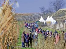 Hikers walk on a hiking path along vineyards during the red wine hike taking place Jan. 24 to 26 in Freinsheim. Courtesy photos
