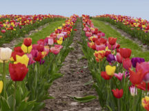 Cut your own flowers (Blumen zum Selbstschneiden)